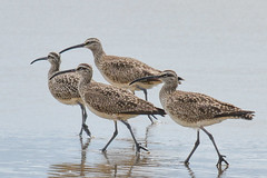 Whimbrels (Art Clausing) Tags: manzanita oregon unitedstates us