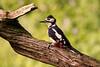 Great Spotted Woodpecker ♂️ (ABPhotosUK) Tags: animals birds canon dartmoor dendrocoposmajor devon ef100400mmisii eos7dmarkii garden greatspottedwoodpecker male picidae seasons spring springwatch wildlife wrynecksandwoodpeckers