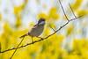 Jolie barbichette !!! (denis.loyaux) Tags: ile de re réserve naturelle lilleau niges commonwhitethroat denisloyaux fauvettegrisette oiseaux passériformes sylviacommunis sylviidés bird