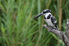 2018 02 02_Pied Kingfisher-1 (Jonnersace) Tags: piedkingfisher cerylerudis kingfisher bontvisvanger bird black white pied wild fisher predator lakepanic skukuza krugernationalpark canon canon7dii canon100400ii wildwingssafaris hunter watcher eyes beak branch perch