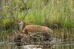 Sandhill crane nesting (Little Salty Dog) Tags: sandhillcranes cranes sandhillcranenest eggs nature nest wildlife outdoors nestingcrane