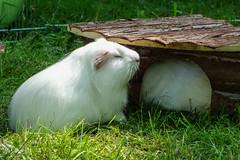 Tired Piggy (Marco Groß') Tags: meeries meerie piggy meerschweinchen animal guinea pig tier haustier guineapigs sony rx100