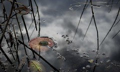 petite grenouille sur une feuille de nénuphars (bulbocode909) Tags: vaud suisse grangettes noville étangdelécudor étangs eau grenouilles nénuphars reflets nuages printemps nature rouge vert