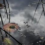 petite grenouille sur une feuille de nénuphars thumbnail