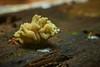 "Slime Mold with ""Fungi"" Roots (Arcyria sp.), Singapore (singaporebugtracker) Tags: singaporebugtracker slimemold mould luffa fungi baterial bacterial mycelium colony porousfungus tubular mushrooms sponge loofah roots protista organisms stinkhorn phallaceae arcyriaobvelata"