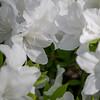 tsutsuji (Hideki Iba) Tags: 花 植物 日本 春 nikon d850 japan 2470 躑躅 ツツジ