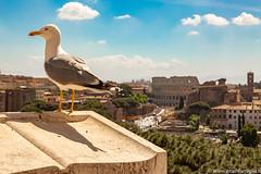 Roma - Vista Colosseo da Altare della Patria (essediphotodigital) Tags: roma gabbiano colosseo canon altare della patria cittàeterna