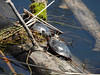 Painted turtles basking in the sun in Iroquois, Ontario (Ullysses) Tags: paintedturtle turtle basking iroquois ontario canada spring printemps tortue