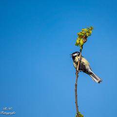 Kohlmeise (ralf_warnecke) Tags: 2018 wandern tree vogel kohlmeise triebe meise bird baum bremen blauerhimmel deutschland de