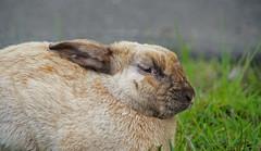 Sideways Glance (sea turtle) Tags: bunny rabbit bunnies rabbits langley whidbeyisland whidbey island animals animal cute fluffy outdoors washington washingtonstate northwest pacificnorthwest ears rabbitears
