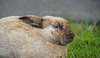 Sideways Glance (sea turtle) Tags: bunny rabbit bunnies rabbits langley whidbeyisland whidbey island animals animal cute fluffy outdoors washington washingtonstate northwest pacificnorthwest ears rabbitears