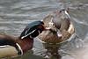 Male & Female Wood Ducks (Aix sponsa), High Park, Toronto On, Canada (West Tribe) Tags: woodduck highpark toronto ontario canada bird waterfowl duck ducks aixsponsa