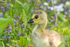 Fluffy little gosling (andyp178) Tags: gosling goose bird young baby fluffy cute canadagoose spring nikon sigma nature wildlife wildfowl