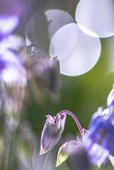 Blue Columbine (Aquilegia), Akelei (Of Light & Lenses) Tags: akelei columbine aquilegia rhizome taproots phalwurzel perennial ranunculaceae gardenplant commonplant blueplant bokeh bokehlicious extremebokeh flower vintagelens vintageprime extensiontube sonya7rii zuiko40200mm olympuszuiko vintagetelelens macromademoiselle