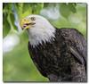 A Portrait.... (Roger Photos) Tags: nef eagle bird raptors virginia jamesriver