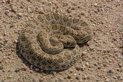 Prairie Rattlesnake (amdubois01) Tags: crotalusviridis crotalus prairierattlesnake snake rattlesnake reptile viper colorado rattler usa unitedstates