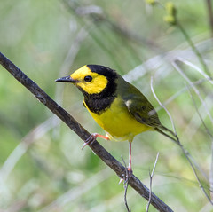 Hooded Warbler (Ed Sivon) Tags: america canon nature wildlife wild western southwest statepark bird texas warbler