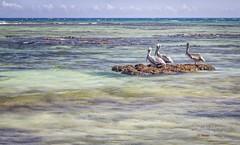 'Three Pelicans' - Akumal, Mexico (Freshairphotography) Tags: caribbeansea caribbean mexico akumal akumalbay pelicans brownpelican pelecanusoccidentalis blues shadesofblue calming relaxing serene tourism naturesart birds seabirds