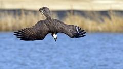 Osprey (AmyEHunt) Tags: osprey bird raptor water fish flight wild wildlife colorado canon sky