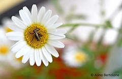Foto di Alina Bertolone (alinabertolone) Tags: flower fiori natura nature