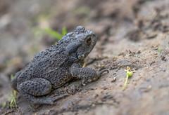 Barna varangy (Bufo bufo) (Torok_Bea) Tags: animals frog frogs barnavarangy varangy bufobufo nikon nikond5500 sigma