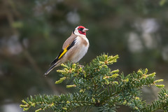 Wearing it with Pride (CJH Natural) Tags: goldfinch stieglitz colour proud handsome tree leaves finch nature wildlife red yellow tan