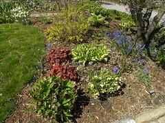 Yard, April 2018 (MadKnits) Tags: garden green growing plants hosta heuchera coralbells