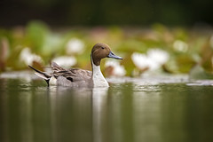 Spring Pintail (DTT67) Tags: pintail duck drake waterfowl pintailduck spring maryland wildlife nature nationalgeographic canon 1dxmkii 500mmii