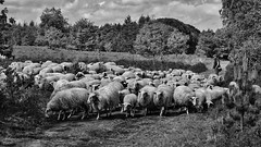 (marco.toet) Tags: supreme herder sheppard zwartwit schwarzweiss schwarzundweiss noiretblanc bw blackwhite blackandwhite veluwe renderklippen heide schapen thenetherlands nederland holland dutch outstanding outstandinglandscape excellent natuurfotografie naturephotography natuur nature dutchnature sheep