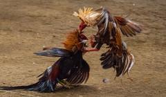 Cock fighting a7iii-1- (3) (walterkolkma) Tags: a7m3sonya7iiiphilippinesmanilala loma cockpitcockfightingcock fighting gambling