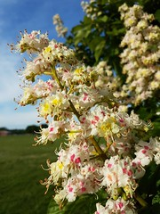 Blossom (Worcestershire UK) Tags: springtime spring summer blossom wildflowers bluesky brightcolour petals