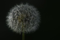 Dandelion head (ianpercival2) Tags: dandelion seeds flower nature light dark lowkey
