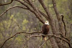 Intense Focus (Larry E. Anderson) Tags: baldeagle haliaeetusleucocephalus minnesota sherburnentlwildliferefuge bird birdofprey raptor seasons spring trees