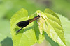 Formosan Gossamerwing (Euphaea formosa), Taichung--Gaguan, TW, 20180426-101.jpg (maholyoak) Tags: taichung euphaeidae formosangossamerwing taiwan euphaeaformosa gaguan hepingdistrict taichungcity tw