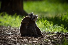 Catching flies (claudiacridge) Tags: wildlife zoo animal ringtailed baby mum lemur nature