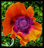 Oriental Poppy (A Work of Mark) Tags: flowers color topazimpressions layers photoshop blooms