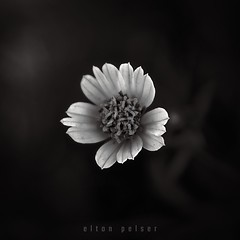 (Elton Pelser) Tags: square 11 bw blackandwhite mono nature flower lowkey noir dark
