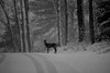 Snowy Solitude (GLASman1) Tags: whitetail deer snow glen arbor