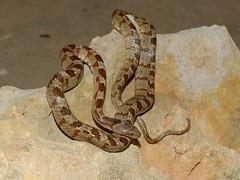 European Cat Snake (Telescopus fallax) (Nick Dobbs) Tags: european cat snake telescopus fallax reptile venomous back fanged animal macro nocturnal protected teleskopu