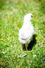 Baby Chickens-36 (sammycj2a) Tags: chick chickens backyardfarm farm chicks pullets straightrun backyard nikon nikkor lightroom