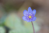 Hepatica nobilis macro (steffos1986) Tags: macro flower makro closeup wild nikond800 nikkorq135mmf35 vintage manualfocus bokeh spring