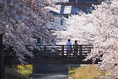 "20180427_30_spring SNAP (foxfoto_archives) Tags: sigma sd quattro 100400mm f563 dg os hsm c017 "" light bazooka "" developed by photo pro 660 sdquattro sdq foveon ライトバズーカ 桜 サクラ さくら spring snap 春 スナップ cherry blossoms japan chiba 日本 千葉"