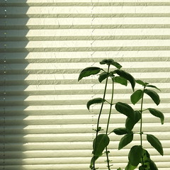 still life with basil (vertblu) Tags: basil foldedblind sunblind pleatedblind blind striped stripes zigzag shadow lines linien allinarow row simple simpleyeteffective boldandsimple green greenwhite white offwhite 500x500 bsquare kwadrat backlit backlight contrejour vert horizontal vertblu stille still stilllife texture textur texturesquared textures