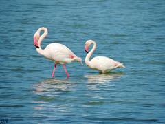 les flamants charmants .. (danie _m_) Tags: naturepic flamingo beautiful animals sea mediterranean blue water birds lovenature wildlife flamant mer sud france