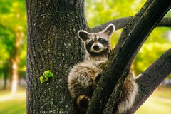 Sitting pretty (fool's itch) Tags: racoon park tree animal wildanimal green daylight outdoor nature