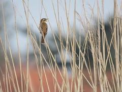 Sedge warbler (Rietzanger) (Elisa1880) Tags: rietzanger acrocephalus schoenobaenus sedge warbler delft abtswoudse bos vogel bird nederland netherlands
