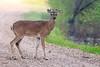 Whitetail Buck (Steve Creek) Tags: deer whitetail sequoyahnationalwildliferefuge antlers oklahoma