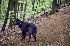 Totoro (Jos Mecklenfeld) Tags: totoro dutchshepherd dutchshepherddog hollandseherder hollandseherdershond shepherd shepherddog herder herdershond dog hond forest wald bos dörentherklippen northrheinwestfalen germany deutschland duitsland teutoburgerwald sonya6000 sonyilce6000 sonyepz1650mm selp1650