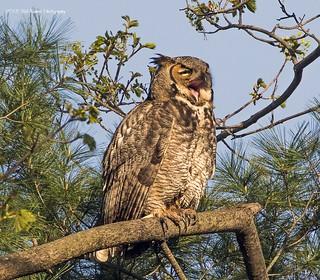 Great Horned Owl Yawning.