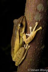 Four-lined Tree Frog (Polypedates leucomystax) (Steven Wong (ATKR)) Tags: steven wong siew por atkr45 stryker wsp herps atkr herp herping malaysia fourlined tree frog polypedates leucomystax